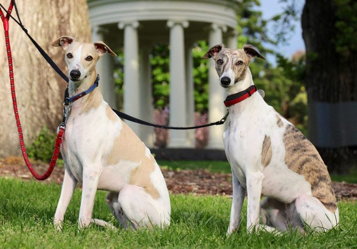 Dog-sitting whippets in Fitzroy