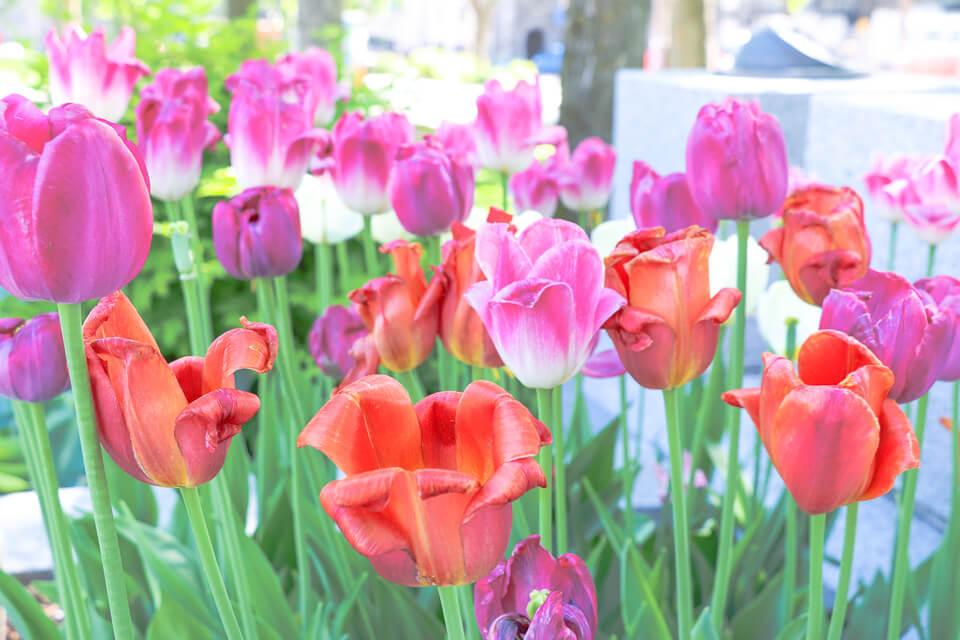 As flores que enfeitam o jardim do Parliament Buildin (Prédio do Parlamento) em Quebec City, Canadá, são as Tulipas