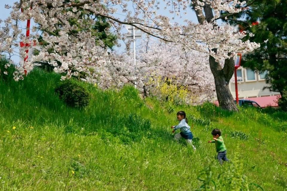 Festival da flor de cerejeira, Sakura Matsuri no Japão