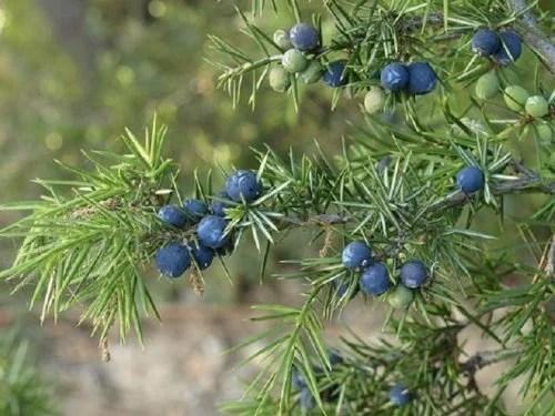 Zimbro(Juniperus communis)