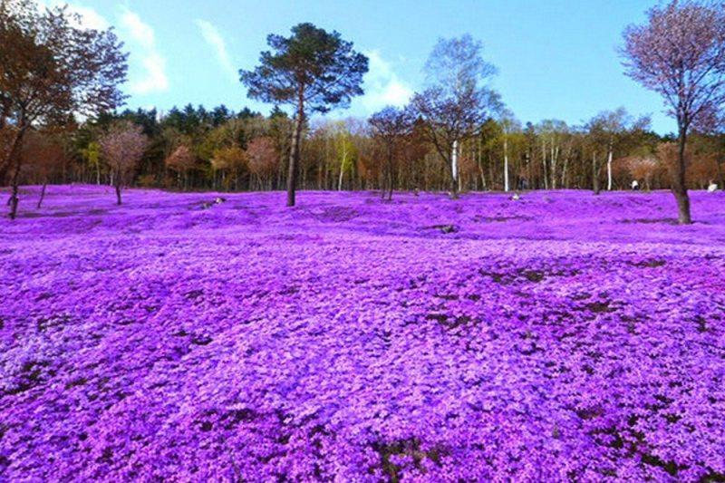 Flores Shibazakura, Takinoue - Japão