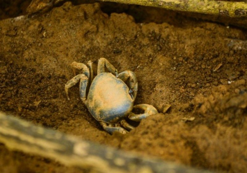 Caranguejo tenta sobreviver em maneguzal afetado pela lama no distrito de Regência (ES)