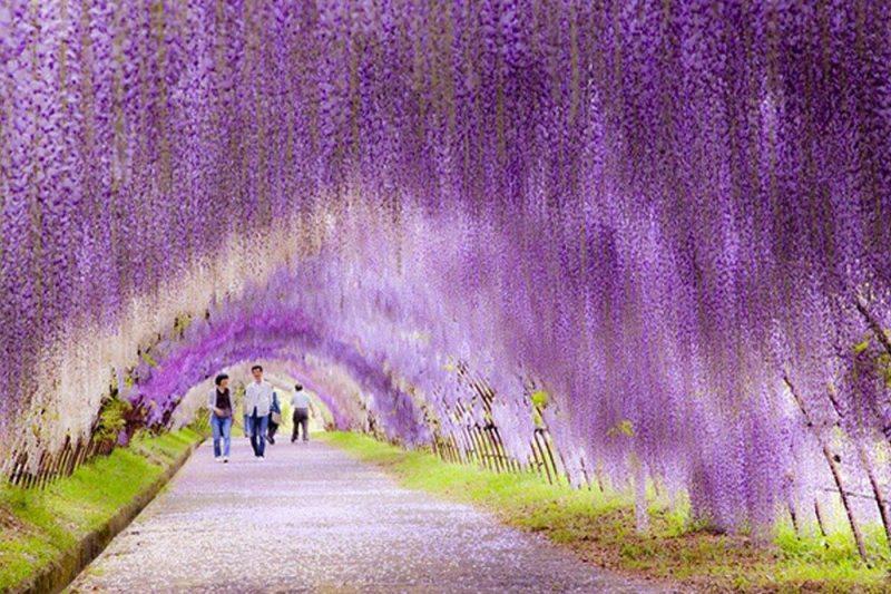 Wisteria, o túnel de flores - Japão