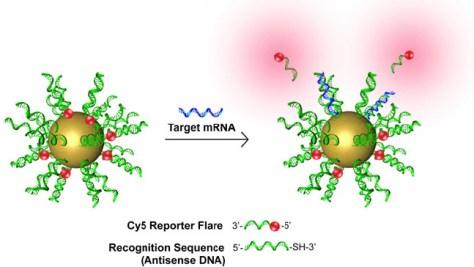 A bolinha de ouro que forma o núcleo dos NanoFlares, está coberta por uma camada de pequenas sequências de ADN capazes de reconhecer e de se ligar a genes específicos das células cancerosas