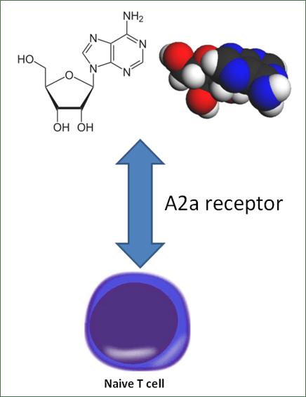 Receptor A2A para a adenosina