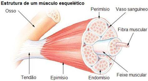 Músculo esquelético melhorsaude.org melhor blog de saude