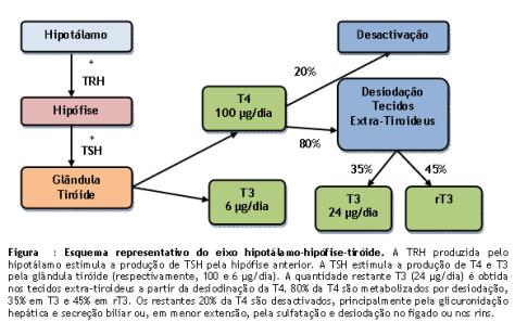 Eixo hipotálamo-hipófise-tiroide melhorsaude.org melhor blog de saude