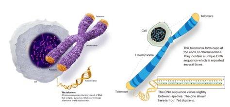 Célula cromossoma e telómeros melhorsaude.org melhor blog de saude