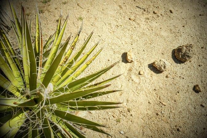 Josuah Tree Palm and Rocks