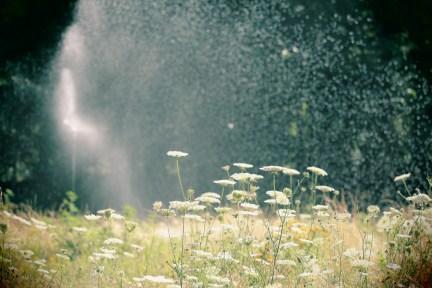 watering queen anne's laceLO