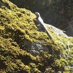 Consumnes River lizard