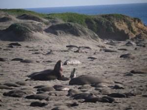 elephant seals san simeon 018