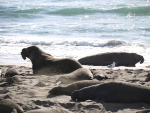 elephant seals san simeon 024