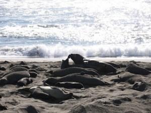 elephant seals san simeon 036