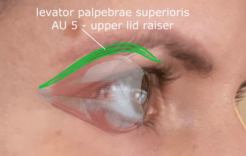 AU5 - upper lid raiser muscle - levator palpebre superioris