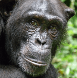 Nigeria-Cameroon chimpanzee - P. troglodytes ellioti (also known as P. t. vellerosus)