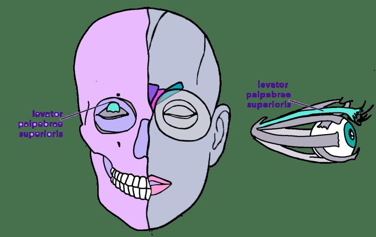 upper lid raiser - levator palpebrae superioris - eye bulge