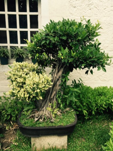 bonsai in manila