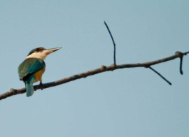 cheeky Sacred Kingfisher checking out the beach this arvo ... sept 2011