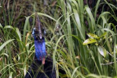 he hid the chic in the long grass and then came back out toward me ... 15/11/2011