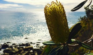 banksia on a headland