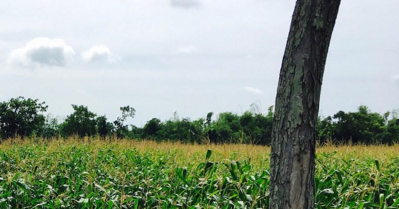 a ripening corn field