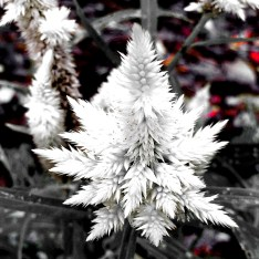 white weeds