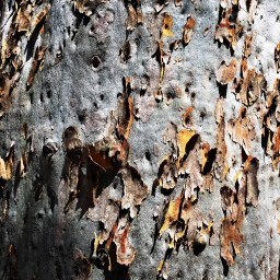 angophora-bark