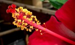 stamen of a red hibiscus flower