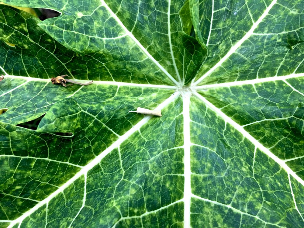 close up of the centre of a papaya leaf
