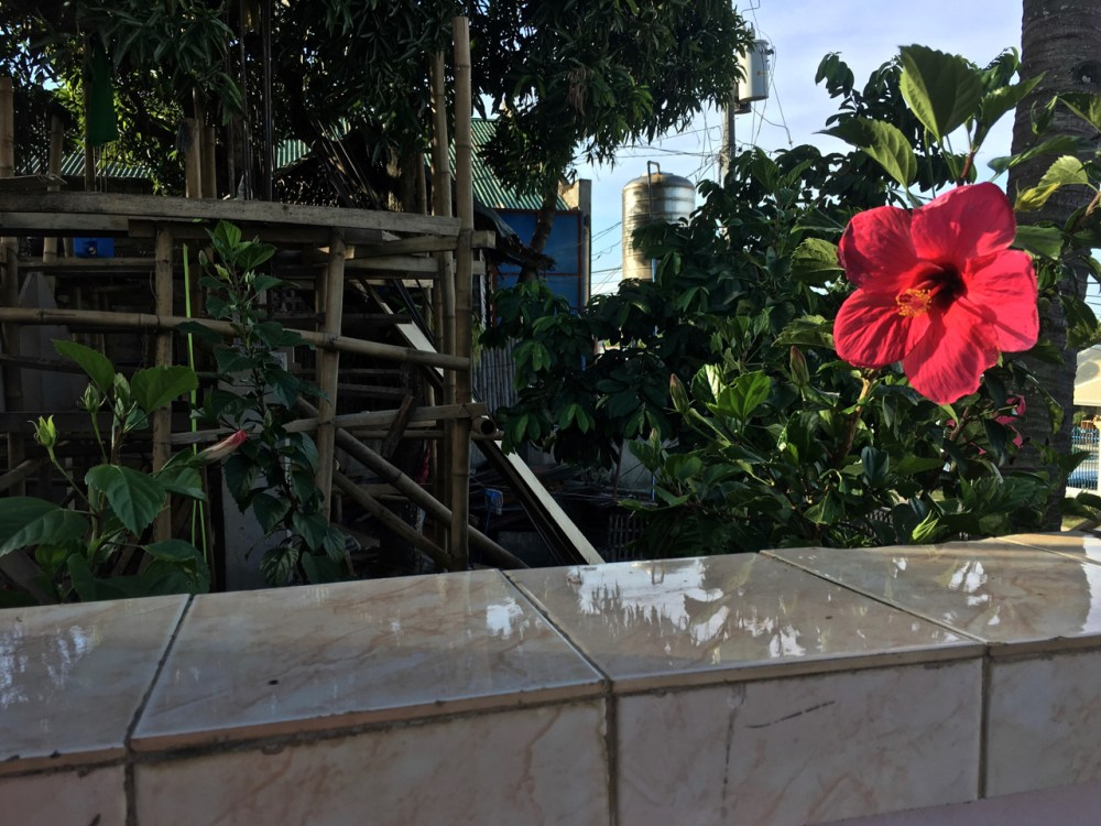 red hibiscus flower hangs over the wall