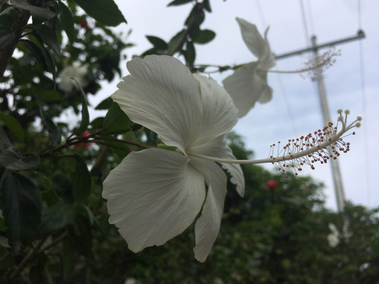 small white hibiscus flowers