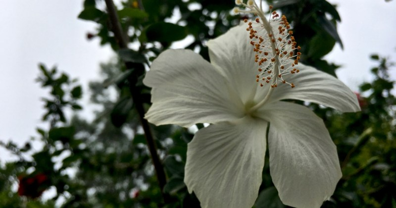 small white hibiscus flower