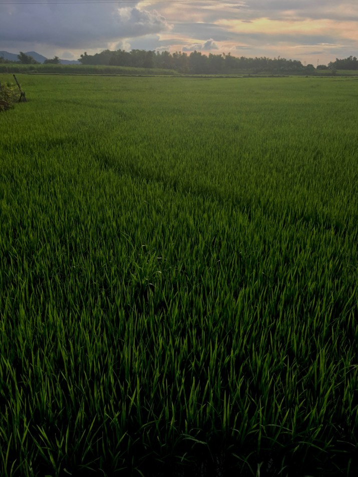 afternoon sun on the new rice