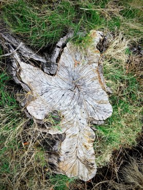 she oak stump 4
