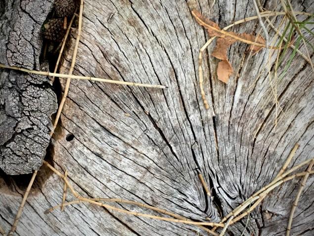 she oak stump2