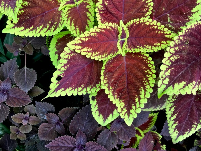 purple and green leaves (1)