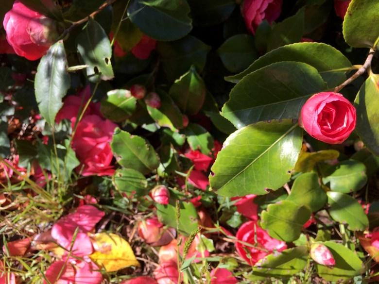 camelia bush