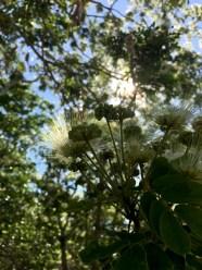 gum blossoms2