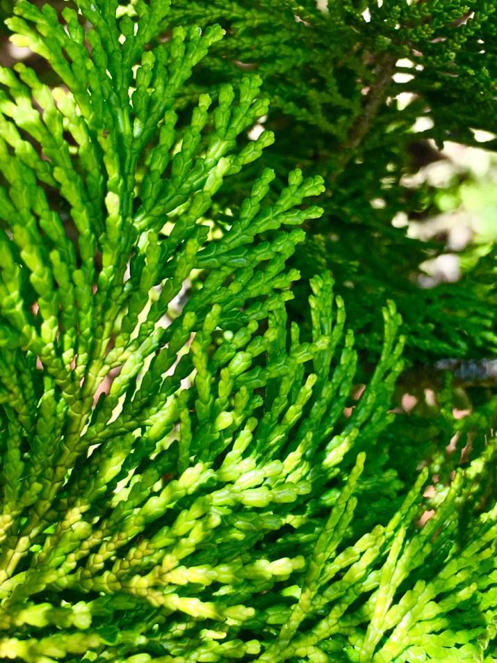 pine tree blackheath
