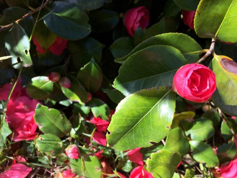 pink camelia bud and bush