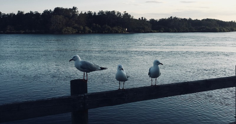 seagulls sitting by the river at dusk