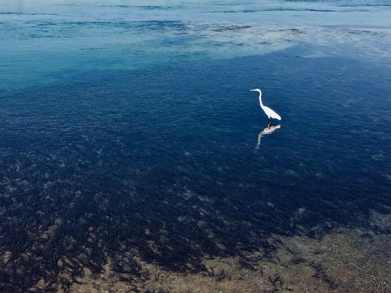 white water bird