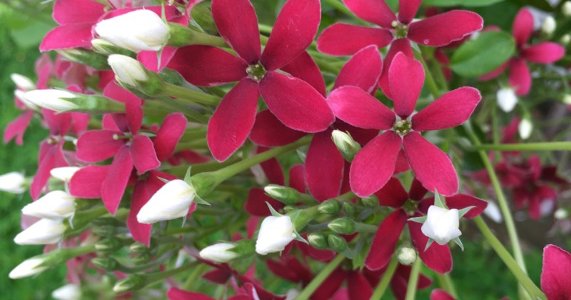 red flowers white buds
