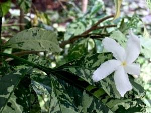 white flower on dappled leaves