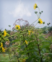 Tall sunflowers in front of Joe pye weed.