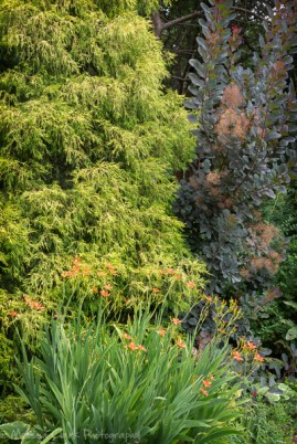 Golden cypress, smoketree in bloom, and orange perennials combine to wonderful effect.