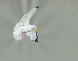 Herring Gull 060517