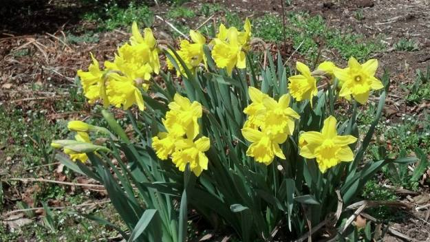 Daffodils in bloom 2014