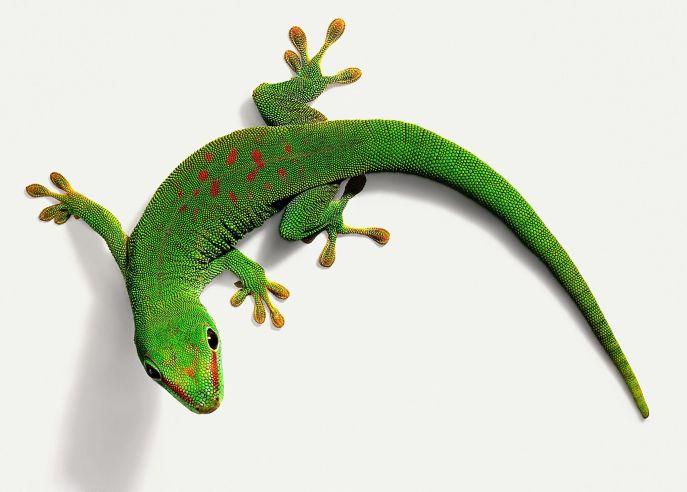 day-gecko-58a476665f9b58819c8d71ea